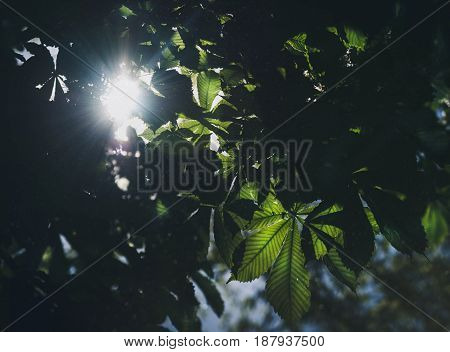 Branches of blossoming chestnut tree with natural sun beams. Sun rays through the leaves of chestnut, natural composition.