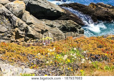 Crescent City, CA USA - 07/12/2015: Flora growing on the cliffs on the Pacific coast in the upper northwestern part of California about 20 miles (32 km) south of the Oregon border.