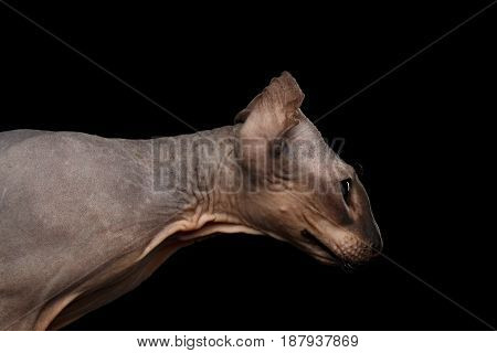 Portrait of Peterbald naked Cat Shake head with funny ears on isolated black background, profile view