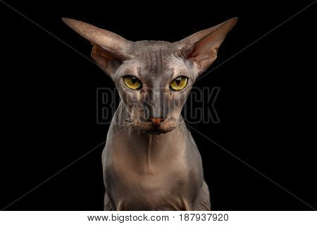 Portrait of Angry Peterbald naked Cat Gazing in camera with Yellow eyes and wide ears on isolated black background, Front view