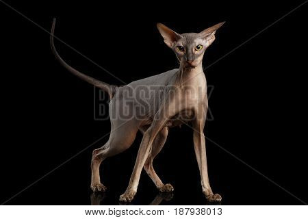 Peterbald naked Cat Standing in attack Pose on isolated black background, front view