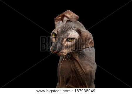 Portrait of Peterbald naked Cat Shake head with funny ears on isolated black background, Front view