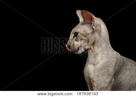 Head of Peterbald Cat Lick on isolated black background, Profile view