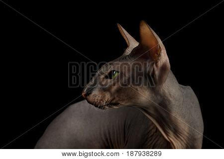 Portrait of Peterbald naked Cat Looking back on isolated black background, profile view