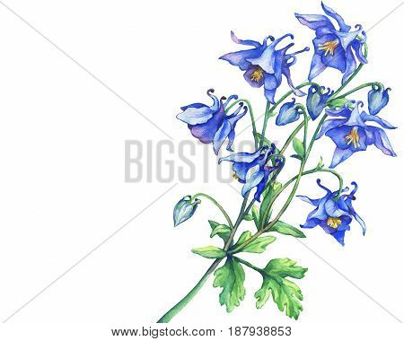 The branch flowering blue Aquilegia (common names: granny's bonnet or columbine). Watercolor hand drawn painting illustration on white background.