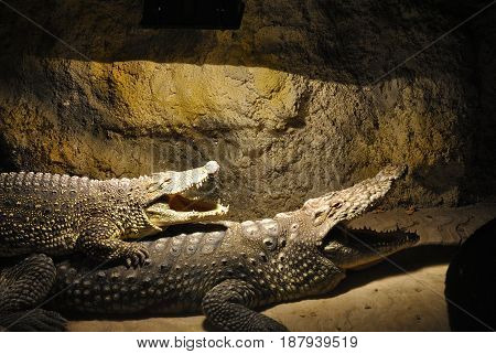 Two Nile crocodiles (Crocodylus niloticus) lie together with open mouths.