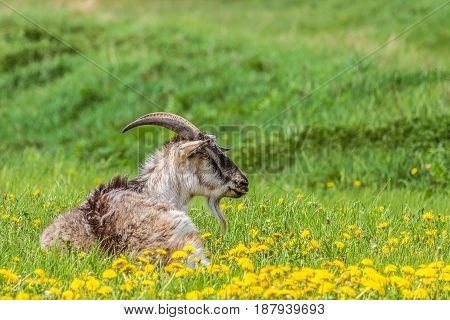 Horny goat lying on a green meadow. Natural rural background with limited depth of field.