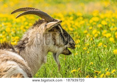 Horned goat. Portrait in profile of a bleating goat.
