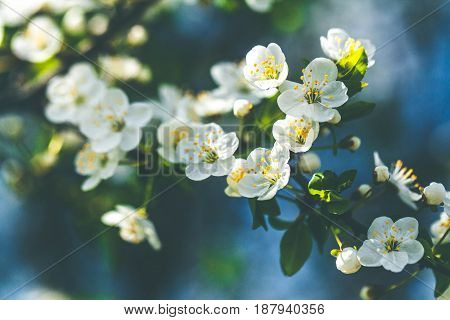 Gentle white plum blossoms blooming in the spring garden on background of blue sky