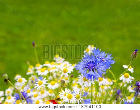 Wild flower bouquet with daisies and cornflowers. Wild flowers isolated on green background.