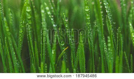 Sprout Wheat, healthy way of life. Grow biological wheat seeds.