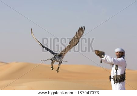 peregrine falcon flying towards his trainer in a desert near Dubai