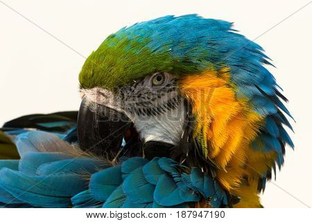 Blue-and-yellow macaw pose parrot. Parrot on the white backround.