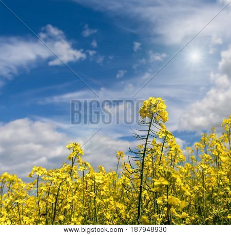Rapeseed field on a sunny spring day with white clouds and sun rays