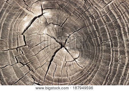 Old gray tree stump wooden texture background