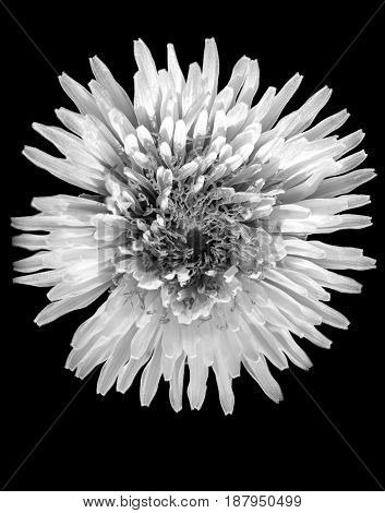 a large dandelion in black and white