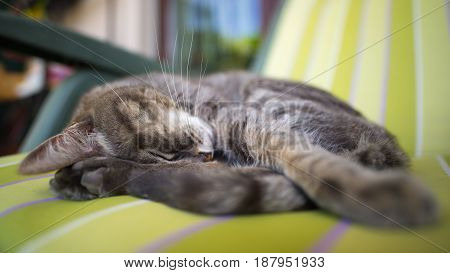 Lazy Domestic Gray Cat Lying On One Side And Napping Twisted. Shot Outdoors With Very Shallow Depth