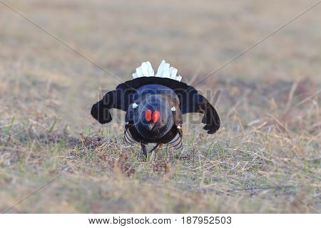 Beautiful Black Grouse