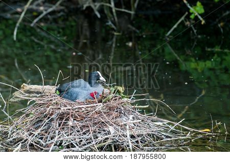 Wild Bird Nesting In A Built Nest On Water