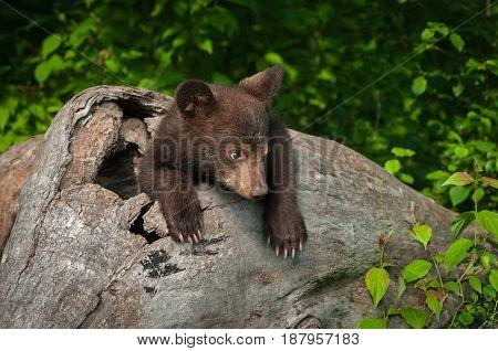 Black Bear Cub (Ursus americanus) Looks Tentative in Log - captive animal