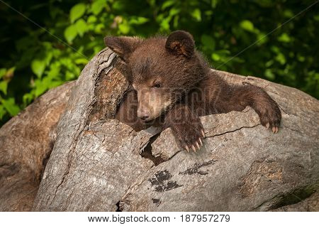 Black Bear Cub (Ursus americanus) Looks Down in Log - captive animal