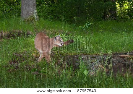 Adult Female Cougar (Puma concolor) Turns Right - captive animal