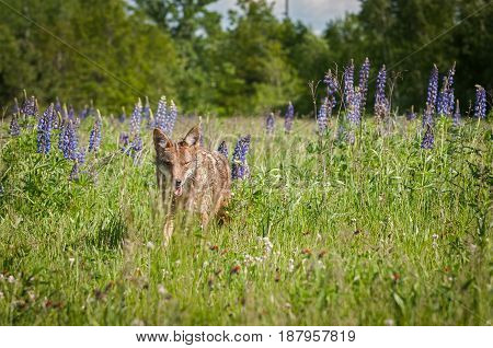 Coyote (Canis latrans) Looks Out From Grass - captive animal