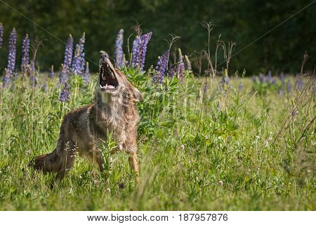 Coyote (Canis latrans) Stands Howling Copy Space - captive animal