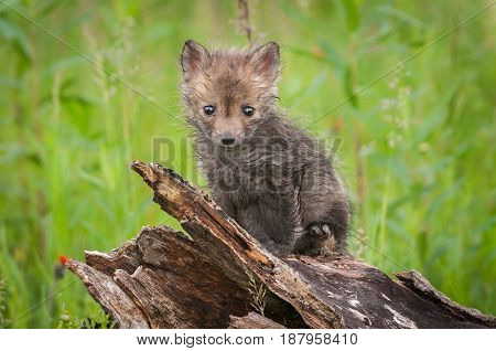 Red Fox (Vulpes vulpes) Kit Sits Atop Log - captive animal