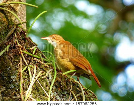 Hornero bird looking for materials at the tree for its mud-house. Brown bird native from South America which build its house (nest) with mud and other materials. Its peak is half-opened. Furnarius Rufus. Commonly located in urban areas