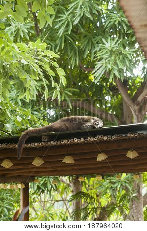 White nosed coati sleeping on the roof in the tropical rainforest