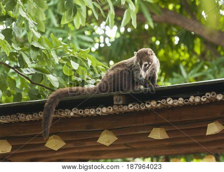 Female white nosed coati sits on a roof watching the ground