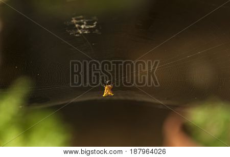Spiky orange and black spider hangs from his web