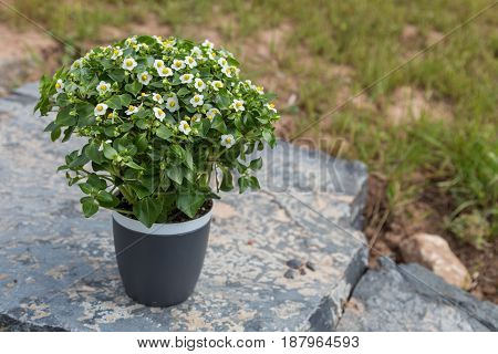 Tiny White And Yellow Flowers On A Gray Pot On A Natural Stone With Grass On The Background