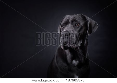 Young dark gray purebred cane corso posing for a portrait in studio