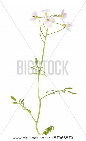 Cuckooflower or lady's smock plant (Cardamine pratensis) isolated on white background. Medicinal plant