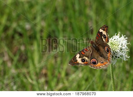 A common buckeye butterfly sits on a white wildflower in a green grassy field, for use as a background or border.