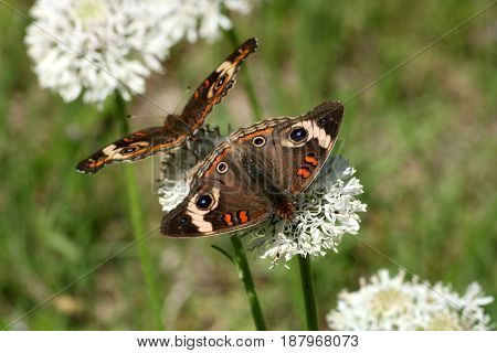 Close-up on two common buckeye butterflies, back to back on white wildflowers in a country field, with blurred green background.