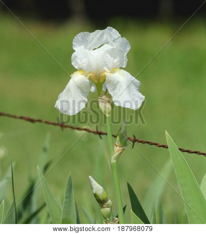 Beauty and the beast. A white bearded iris, standing tall along a rusty barbed wire fence, in a country field with a   blurred green background.