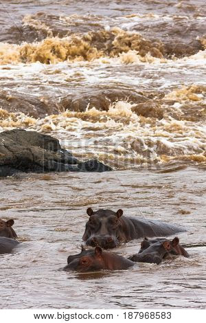 A small herd of hippos on the Mara River. Masai Mara, Kenya