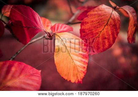 Vivid Red Autumn Leaves On A Branch On Blurred Background.