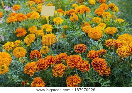 orange marigolds in flower pots, athens, greece