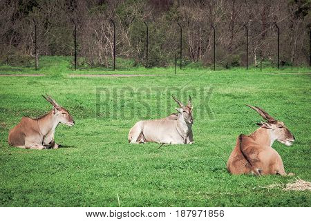 The Common Eland - World's Largest Antelopes Laying In The Grass.