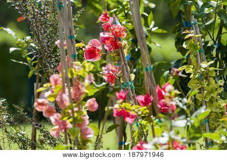 small branch of bougainvillea in a garden, athens, greece