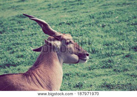 The Common Eland Antelope - World's Largest Antelope Portrait Closeup.