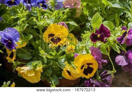some colorful pansy's in pot's, athens, greece