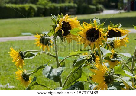 some sunflowers in a free park, athens, greece