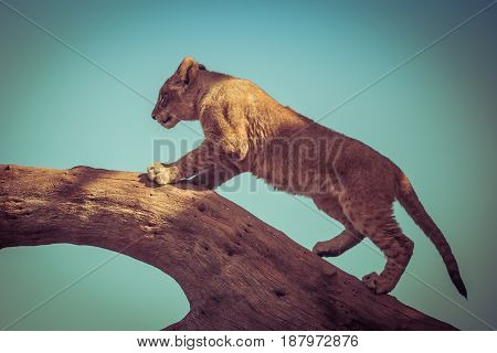 Young Lion Cub Climbing On A Tree.