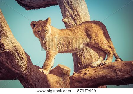 Young Lion Cub Playing Up On Tree Branches.