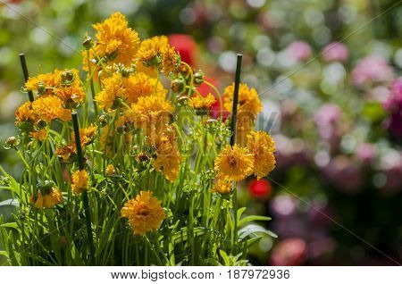 few orange marigolds in garden, athens, greece